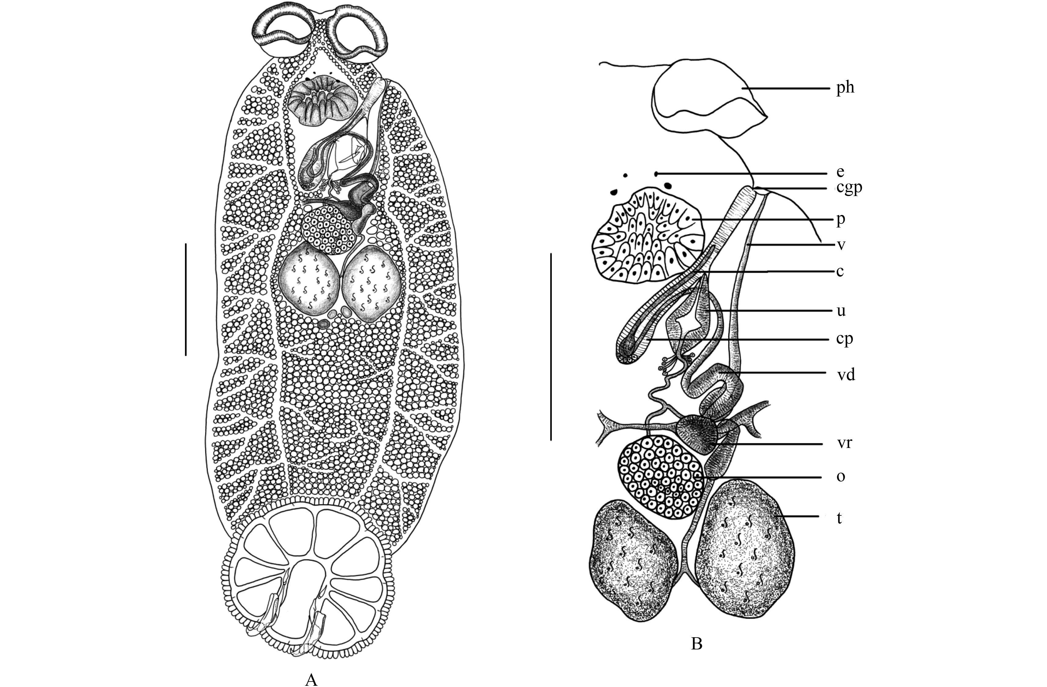 肝吸虫卵图片手绘图